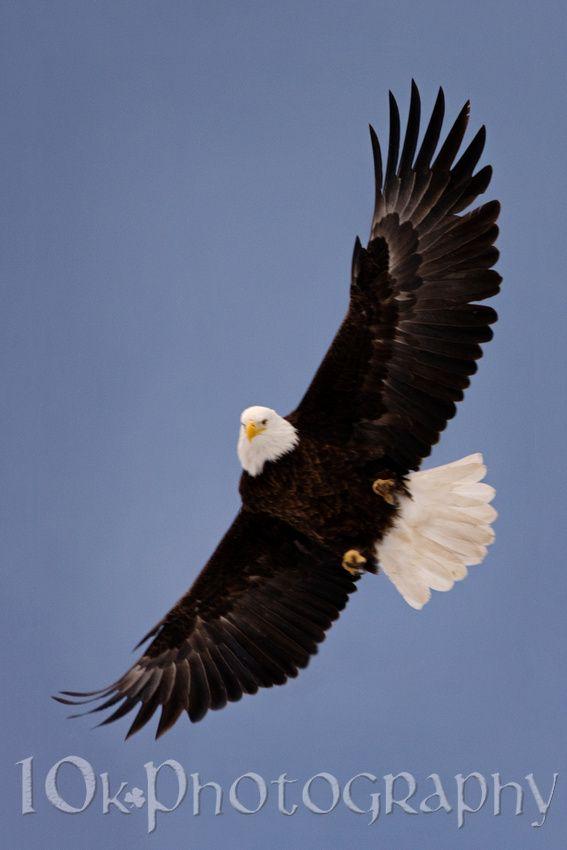 In flight bald eagle