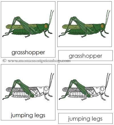 Grasshopper Nomenclature Cards - 13 Parts of the Grasshopper in 3 ...
