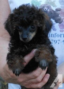 Akc Red Black Brindle Phantom Tiny Toy Poodle Boy Tiny Toy