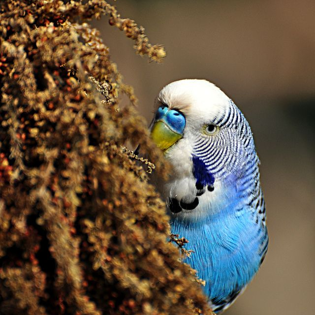 Dinner For One Budgies Budgerigar Cute Birds