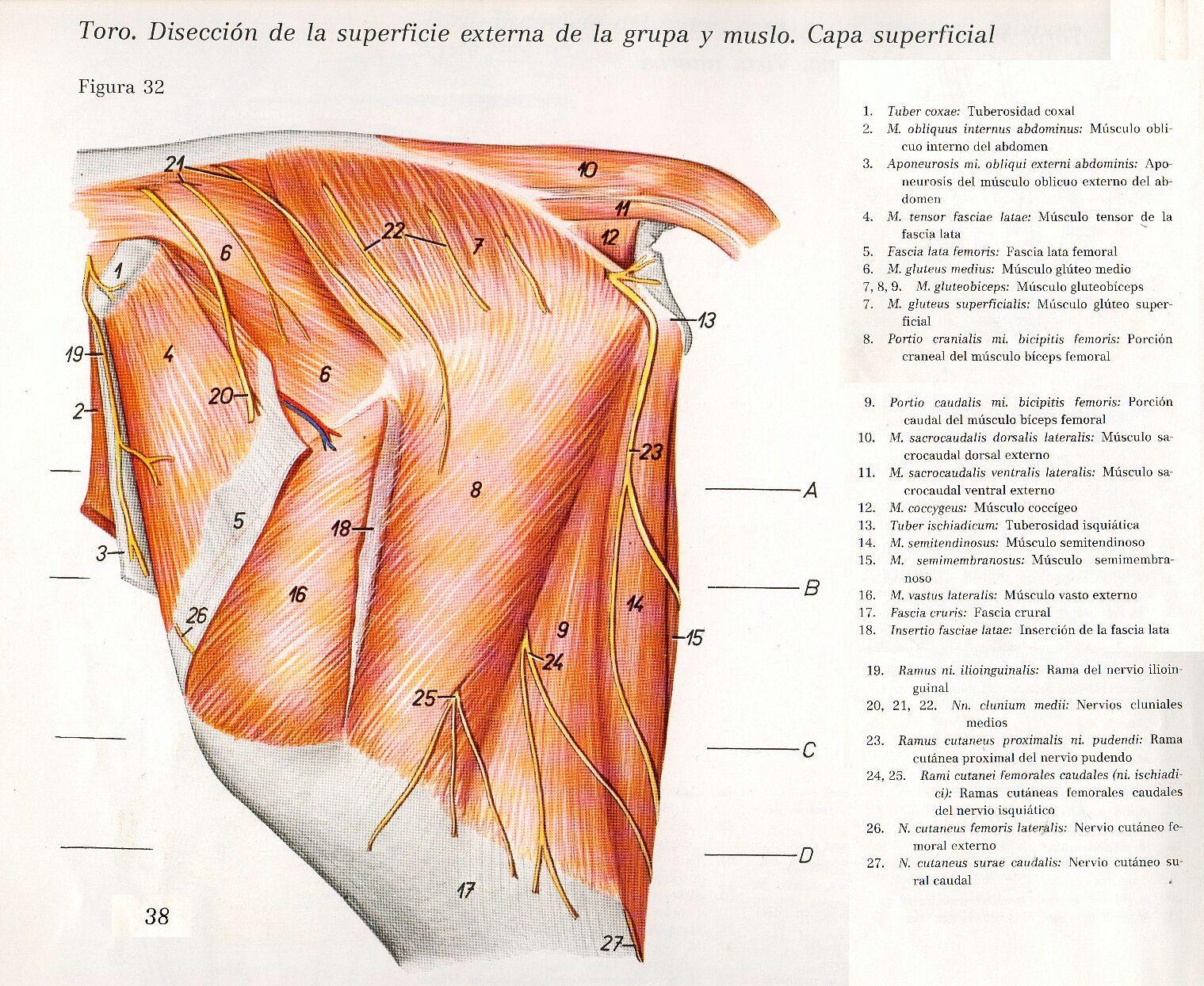Anatomia Veterinaria: Miembro Pelviano (Toro) | jajaj | Pinterest ...