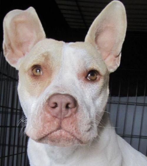 Adopt Buttercup On Pitbull Terrier Bull Terrier Dog Terrier