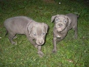 Blue Pitbull Puppies Delaware Dengan Gambar