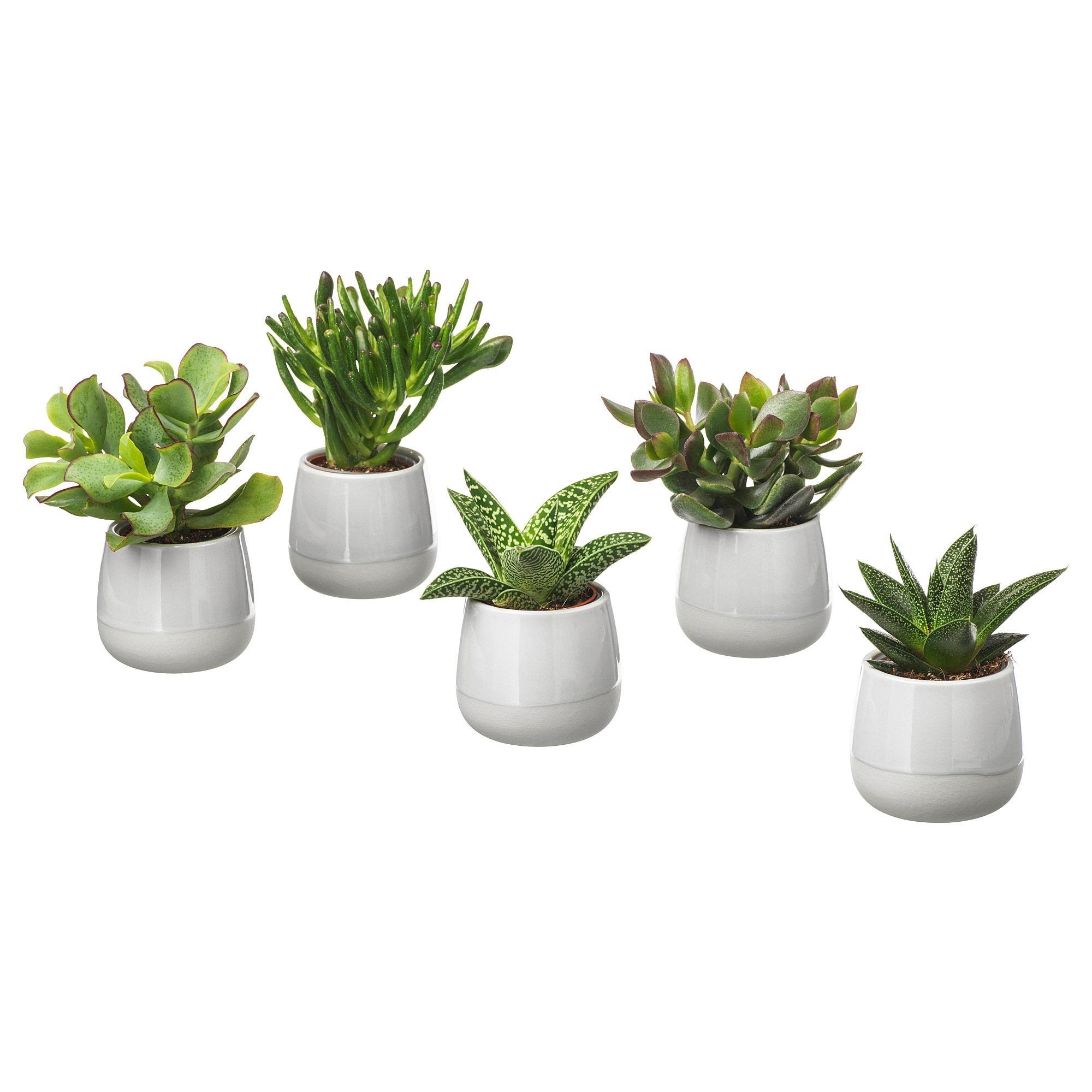 Succulent Potted Plant With Pot Grey 6 Cm Succulent Pots