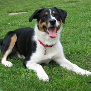 Appenzeller Sennenhund Border Collie Sennenhund Hunde Collie Mischling