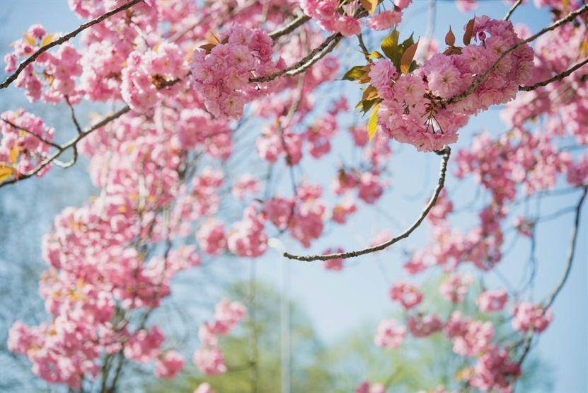 Gardening Diary App 184 20200404181917 53 Gardening Advice Rhs Wisley Women S Gardening Boots Cherry Blossom Japanese Cherry Blossom Tilt Shift Photography