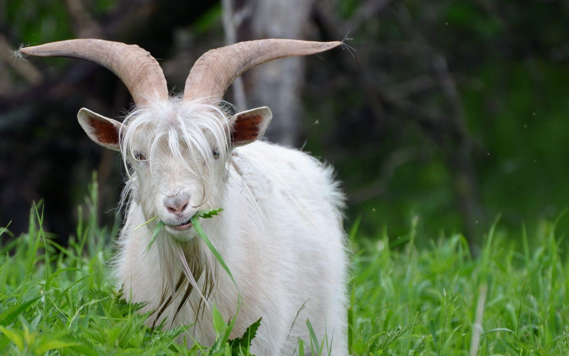Download Wallpapers Download 2790x2547 Animals Grass: Goat Eating Fresh Grass Desktop Background HD 2560x1600