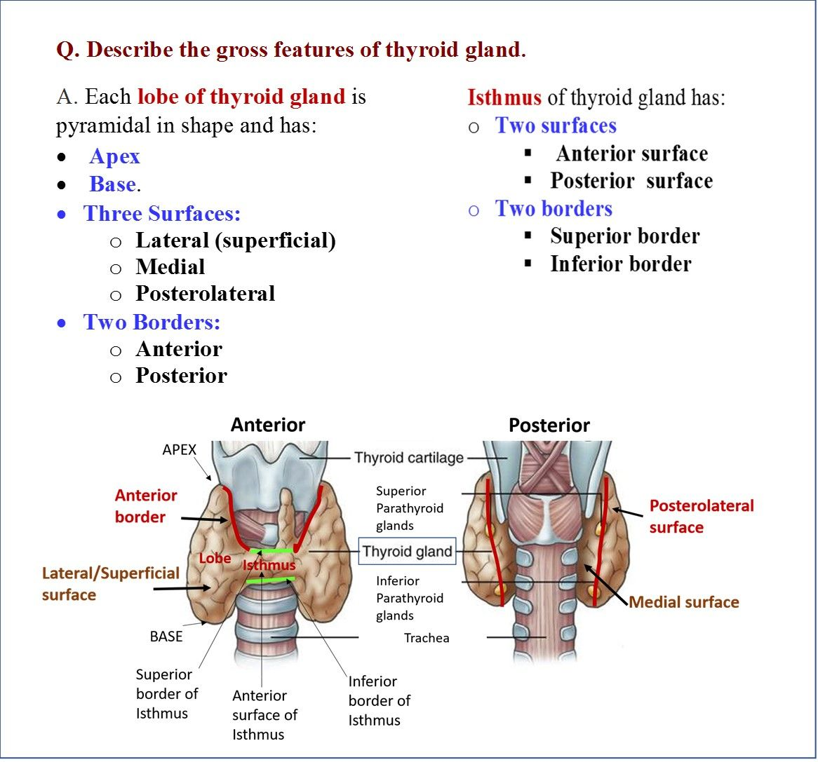 Image Result For Relations Of Thyroid Gland Thyroid Gland Gland