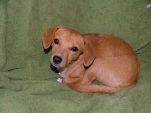 Adopt Sweetheart On Adoptable Dachshund Dog Dachshund Mix