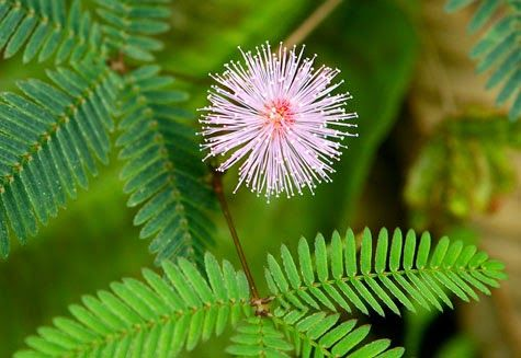 Flowers Of Bangladesh Mimosa Flower Flowers Mimosa