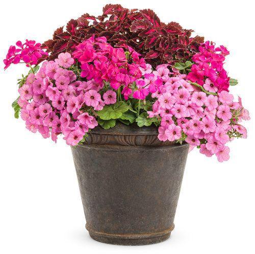Hidden Gem | Proven Winners-2 Boldly™ Lavender Rose Geranium, 1 ColorBlaze® Velveteen® Coleus, 2 Supertunia® Flamingo Petunia