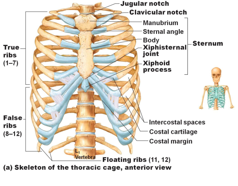 The Bones Of The Thoracic Cage It Is Also Indicates The Different