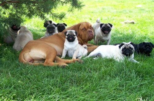 Pugs Dogue De Bordeaux Happy Pug Bordeaux Dog Pug Love