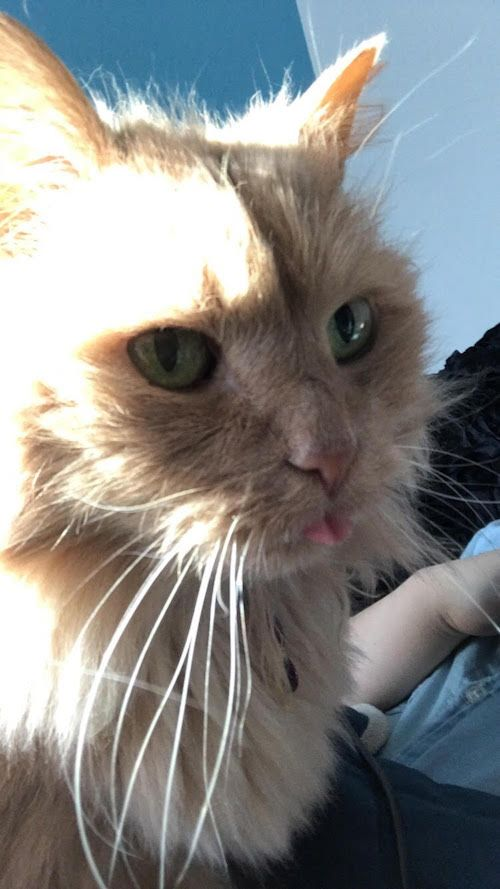 Young Woman Walked Into A Shelter And Asked For Their Least Adoptable Cat We Love Cats And Kittens Cat Adoption Cat Shelter Angora Cats