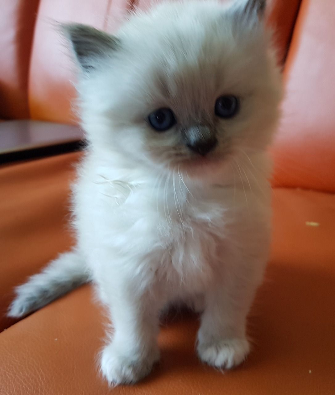 Kitten White Blue Eye Persian Cat Images In 2020 Persian Cat White White Persian Kittens Persian Cat