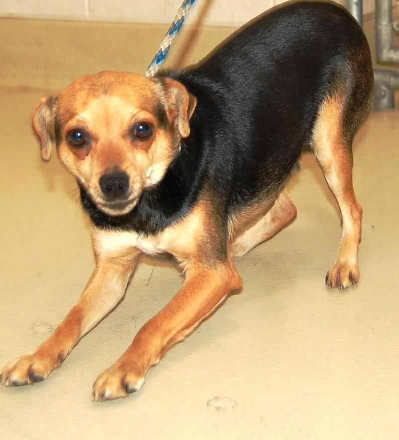 Chihuahua Chihuahua • Adult • Female • Small San Angelo Animal Shelter San Angelo, TX
