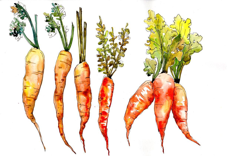 Orange Carrot Vegetables Png Watercolor Set Graphic By Mystocks Creative Fabrica Carrot Vegetable Watercolor Flowers Carrot Drawing La zanahoria ('rockarrot en la versión original del juego) es uno de los 4 20px cultivos avanzados existentes en el juego. pinterest