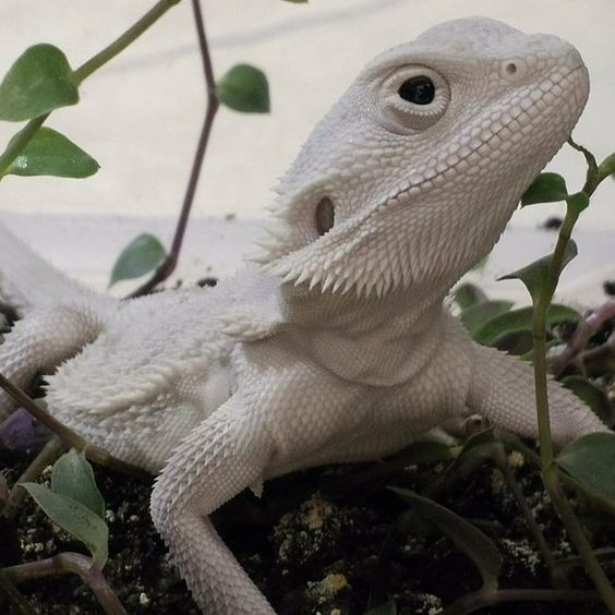 Pin by bdjace on Bearded Dragons | Bearded dragon, Reptiles, Cute