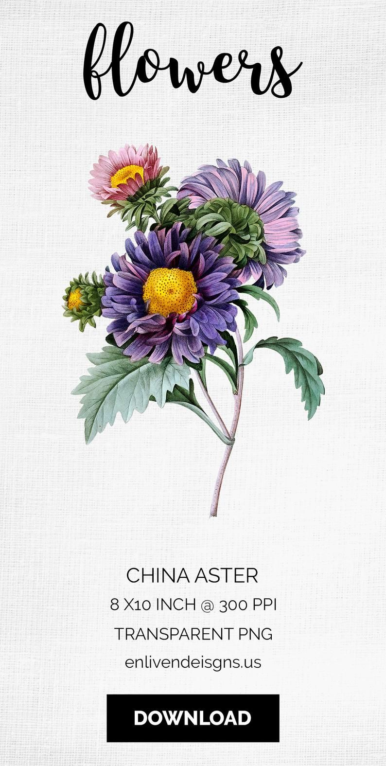 China Aster Vintage Illustration Do You Need A Beautiful Bouquet Of Flowers Th Watercolor Flower Vector Purple Flower Bouquet Beautiful Bouquet Of Flowers