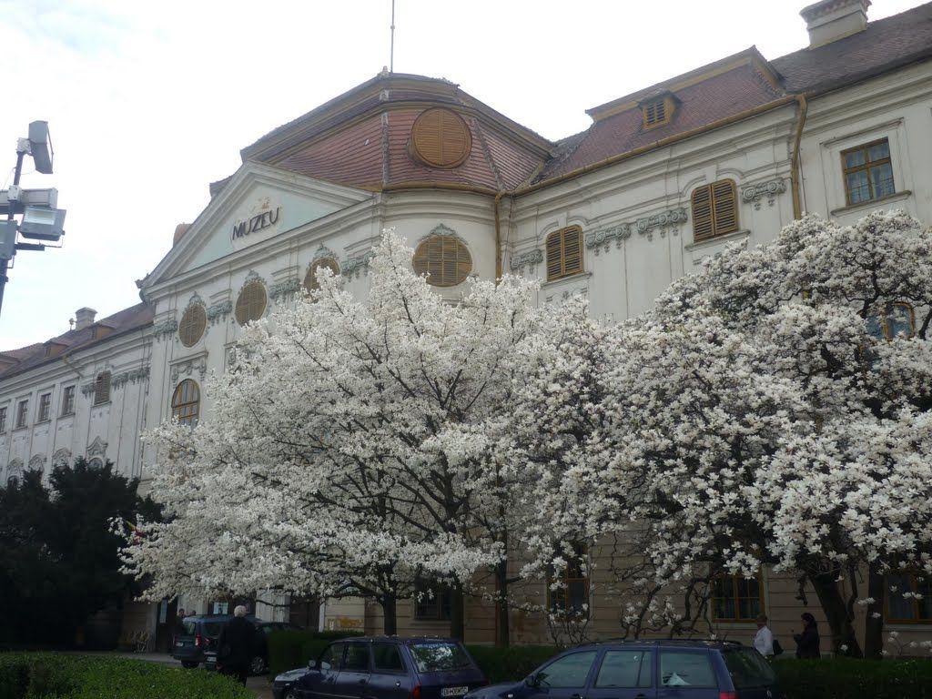 Magnoliile la Muzeul Tarii Crisurilor