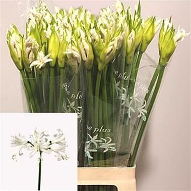 Nerine Biancaneve Also Known As Guernsey Lilies Is A White Cut