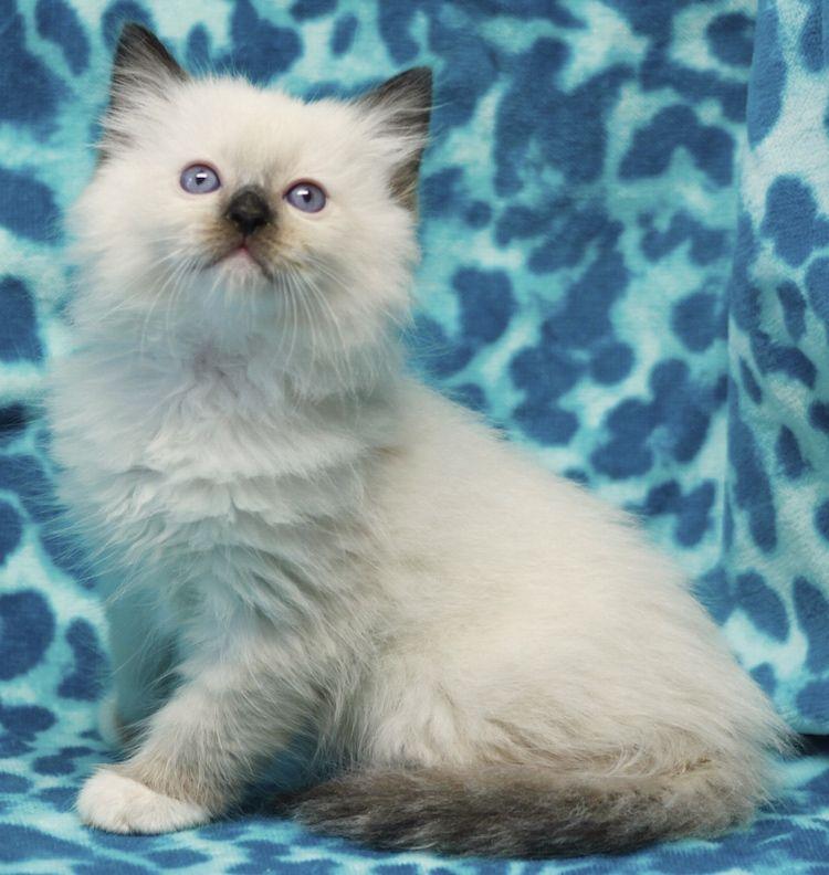 Dollnouveau Ragdolls Kittens Cute Cats Beautiful Cats