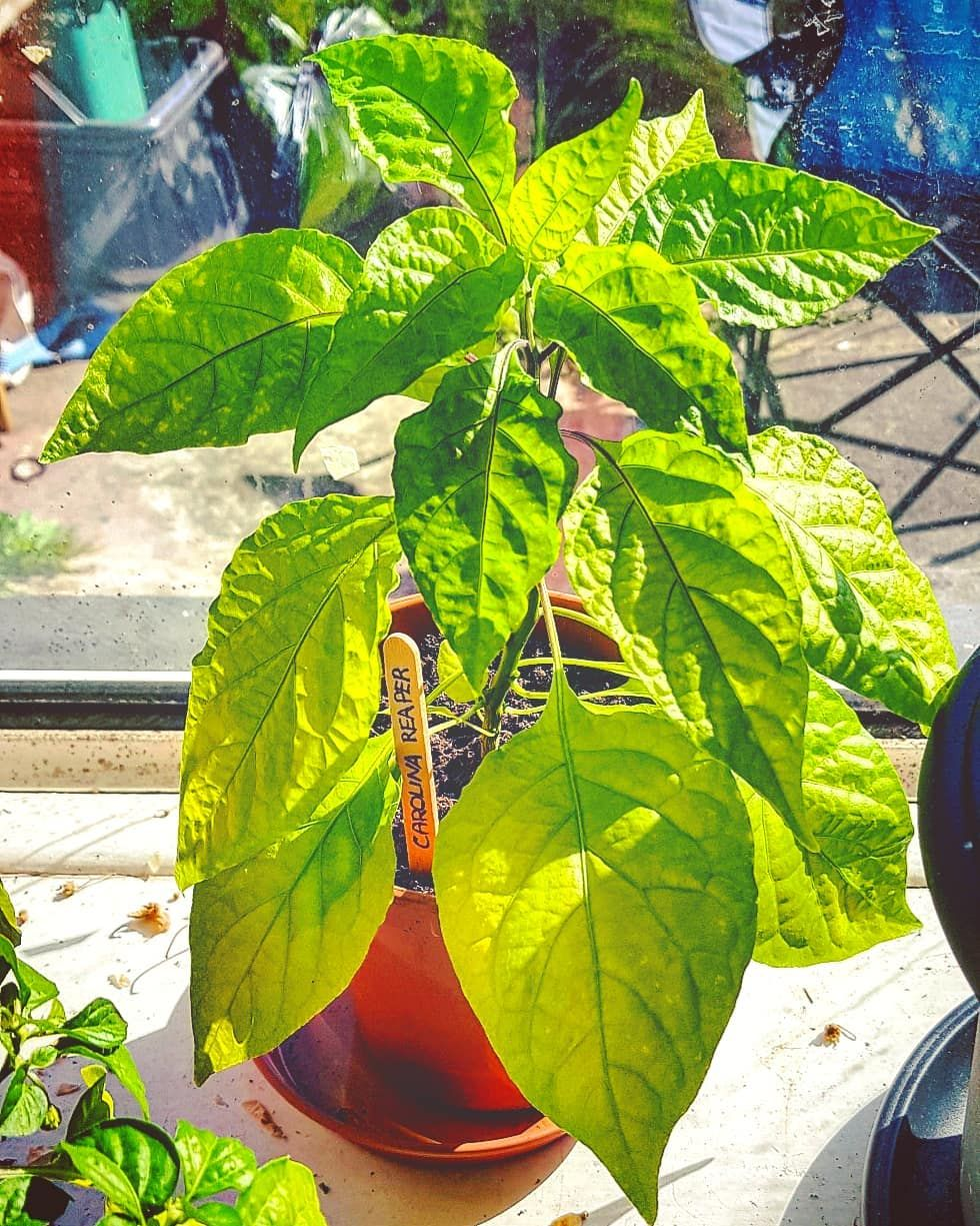 My Carolina Reaper Plants Hope Theyll Give Me Peppers Chilli