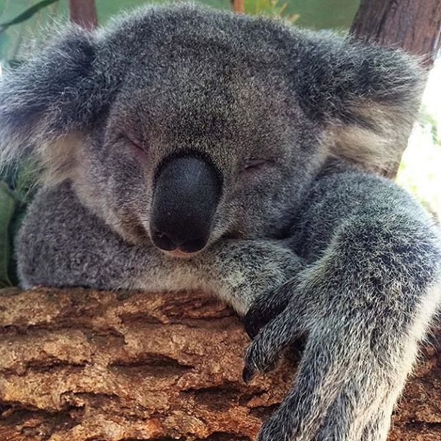 Tuckin In For The Night Happy Monday Y All Currumbinsanctuary Koala Australia Koala Bear Koala Cute Animals