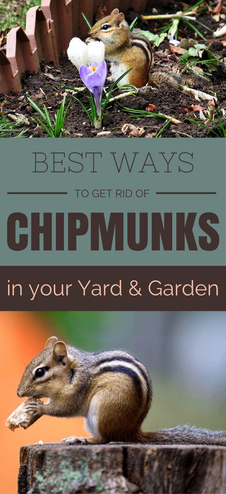 Best ways to get rid of chipmunks in your yard and garden ...