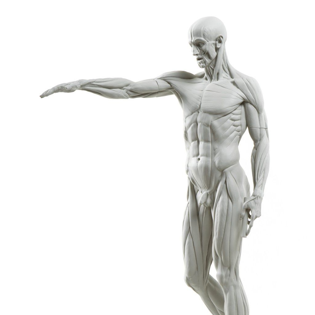 Eaton-Houdon Ecorche | 3D Anatomy | Pinterest