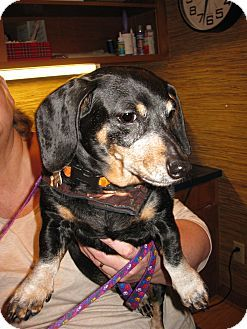 Pictures Of Katie A Dachshund For Adoption In Salem Or Who Needs