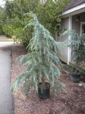 Dwarf Weeping Trees For Landscaping Deodar Cedar 7 Gallon 70