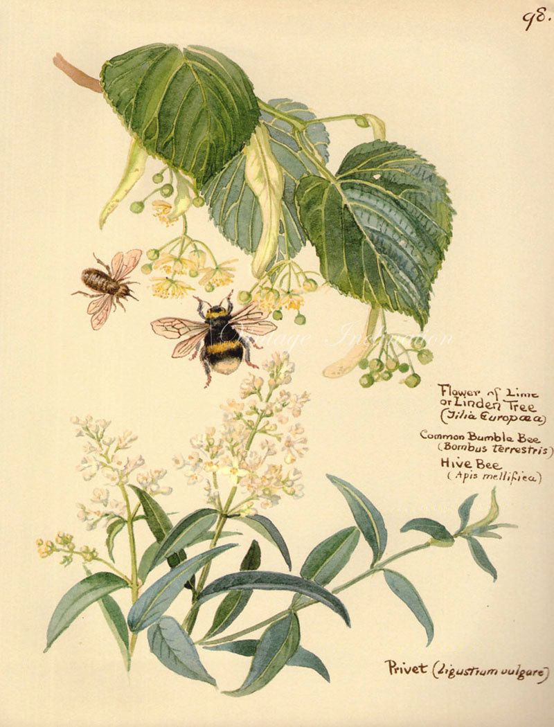 Antique Print English Flowers bees bumble by VintageInclination, $7.00