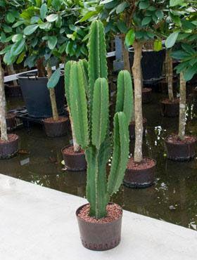 Euphorbia ingens google search flora fauna pinterest google search cacti and plants - Plant de rhubarbe a vendre ...