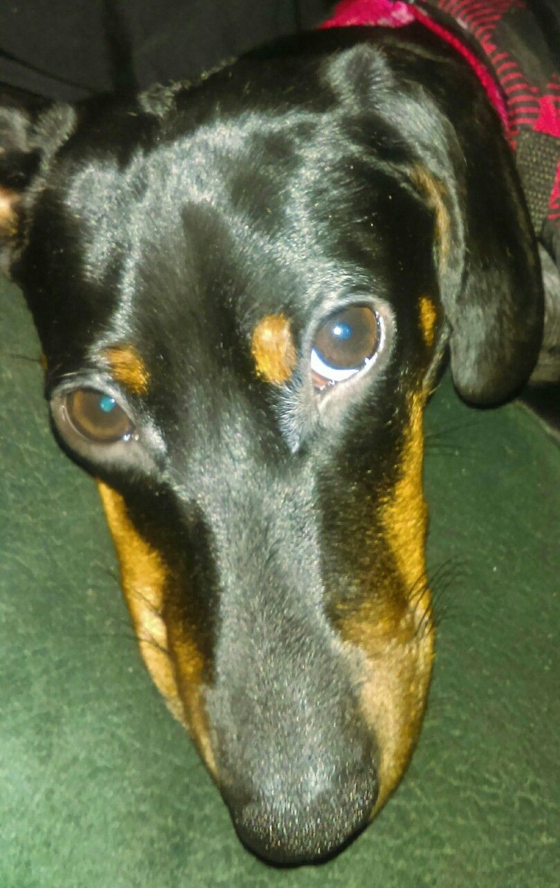 Pin On Doxie Love
