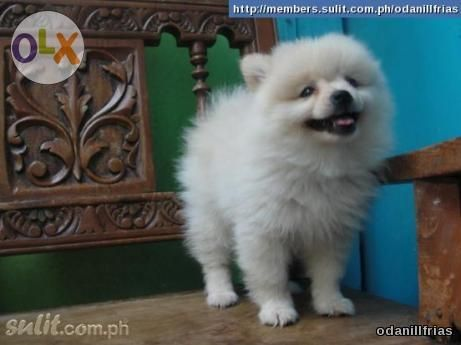 Pomeranian Female Puppy Available White Animal Lover Puppies Pets