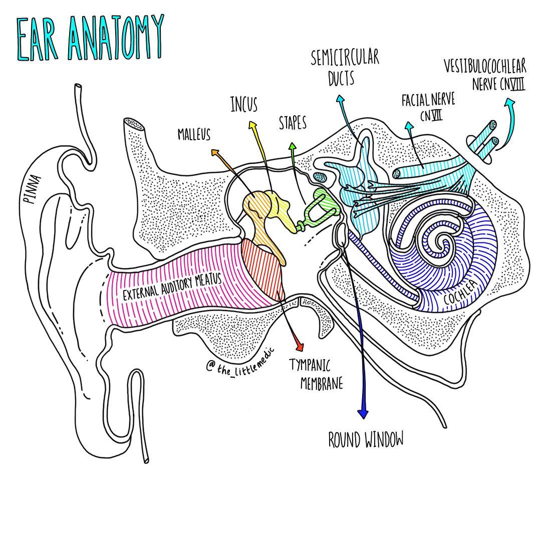 The Littlemedic Instagram Ear Anatomy Medstudent