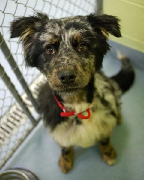 Adopt Pebbles On Shelter Dogs Animal Shelter Australian Shepherd
