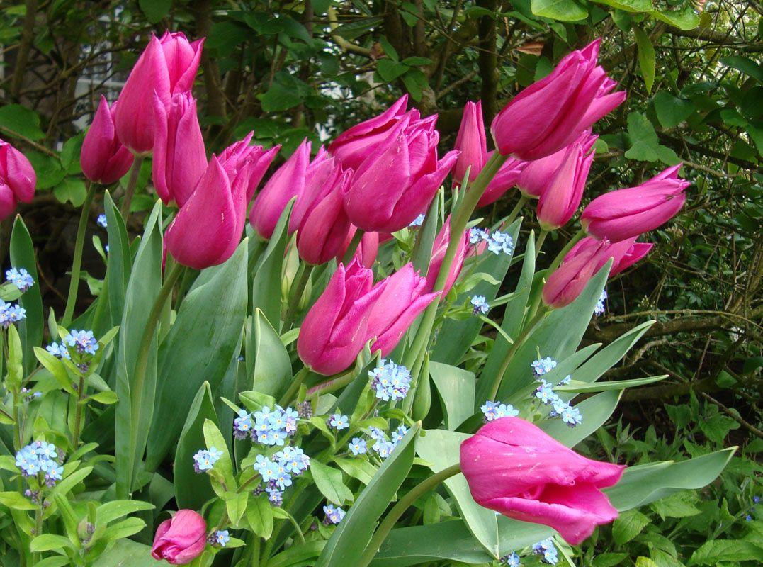 Tulip Mariette with blue myosotis