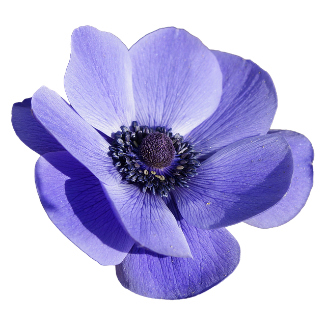 Free Image On Pixabay Flower Blossom Bloom Anemone Flower Images Flowers Photography Flowers