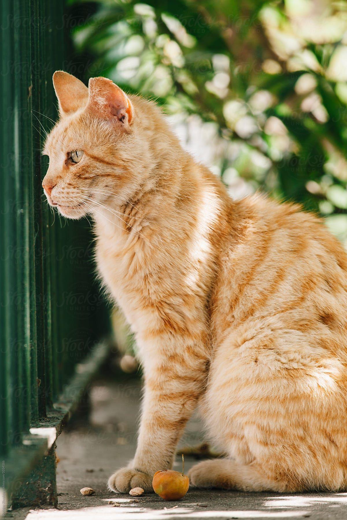 Beautiful Orange Cat Stocksy United Orange cats, Cats