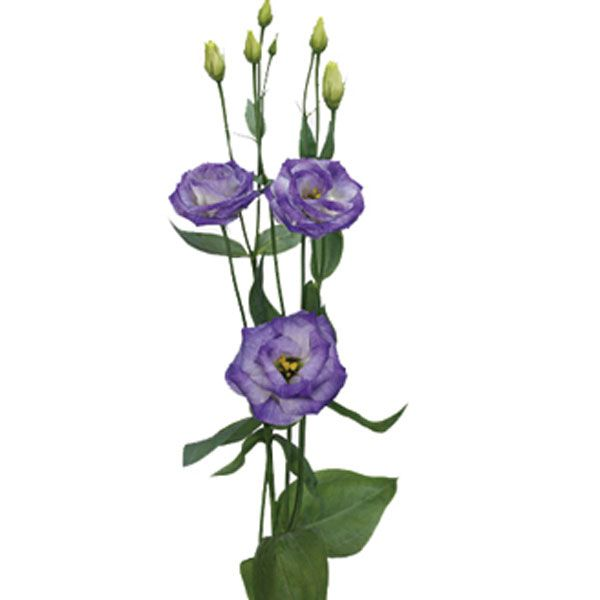 Lisianthus Eustoma Grandiflorum Pick Ontario April Flowers Lisianthus Flowers
