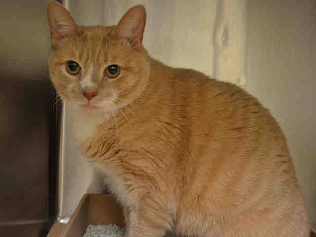 PULLED! NYC TO BE DESTROYED 05/01/15 Just Sad!!! CHARLIE LOVED & GENTLE with the 10 yr old Girl in prev. house. He is declawed & neutered. Charlie is very relaxed & affectionate with former family. He did not play well with other cats. Not adjusting to facility NH Only! ID #A0954589. Neutered male tan & white about 2 YEARS old. OWNER SUR - PETS CONFL. https://www.facebook.com/nycurgentcats/photos/a.998500743501246.1073742671.220724831278845/998500790167908/?type=3&theater