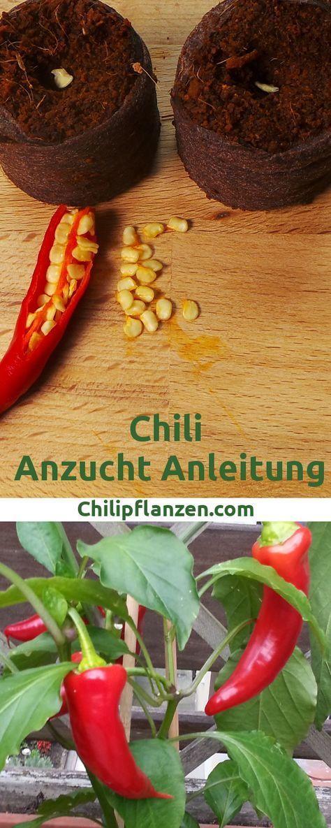 chili anzucht anleitung chilisamen keimen lassen pflanzen selber ziehen pinterest. Black Bedroom Furniture Sets. Home Design Ideas
