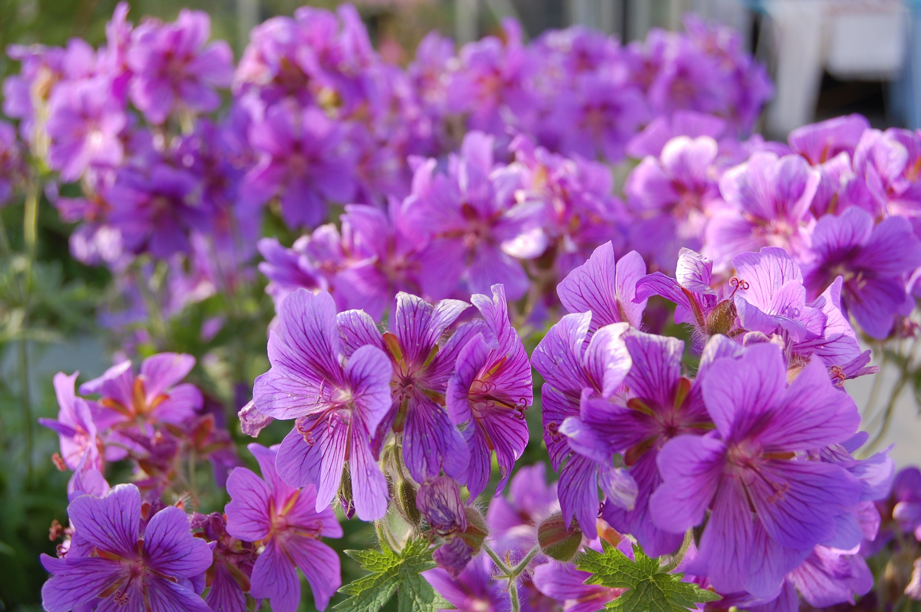 a lot of purple geranium