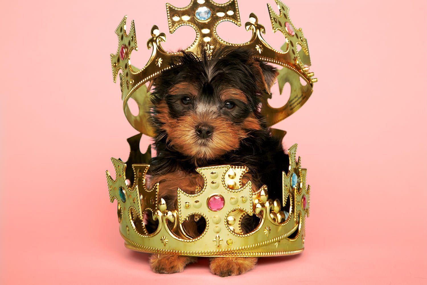 The Gold Standard Of Yorkshire Terriers Yorkie Cute Teacup Puppies Yorkie Puppy