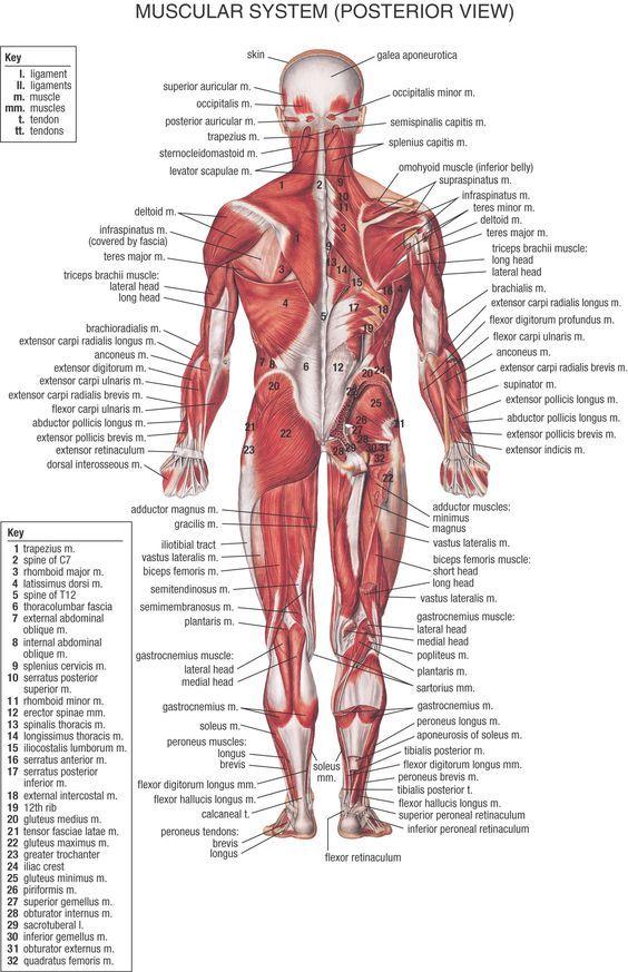 Pin von Ali Taşkın auf Anatomi | Pinterest
