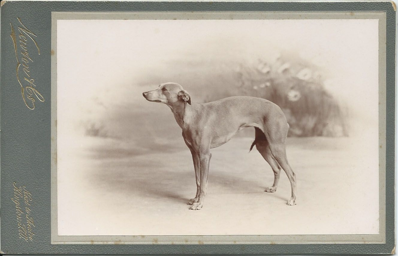 c.1890s cabinet card of a whippet owned by Mr. William Charles. This is one of two photos of either the same dog or another whippet that William Charles, who was associated with the Brooke Bond Tea Company, owned. On verso: Mr. William Charles's whippet. Photo by Newton & Co., Kingston, London. From bendale collection