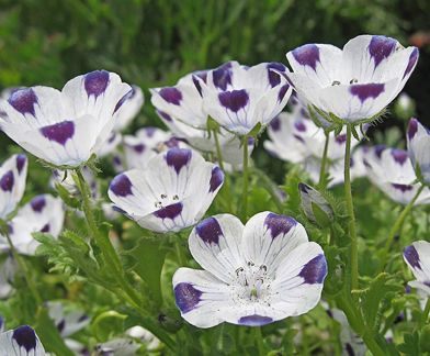 Happy nemophila maculata