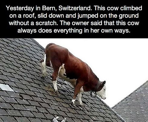 This Cow Climbed On A Roof Just For Laughs Funny Haha Funny